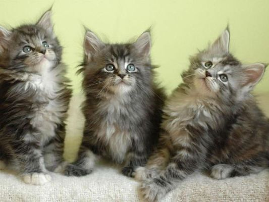 котята в питомнике