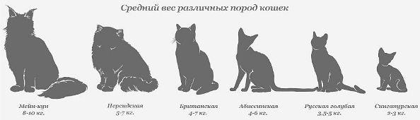 сравнение веса кошек