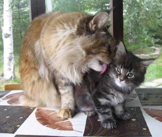 взрослый и котенок