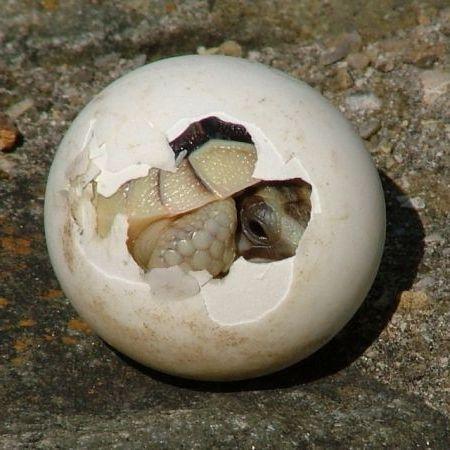 черепашонок из яйца
