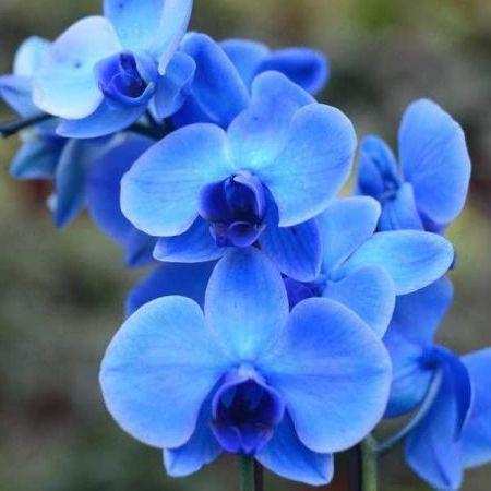 голубой цвет орхидеи