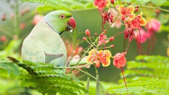 как выглядит ожереловый попугай