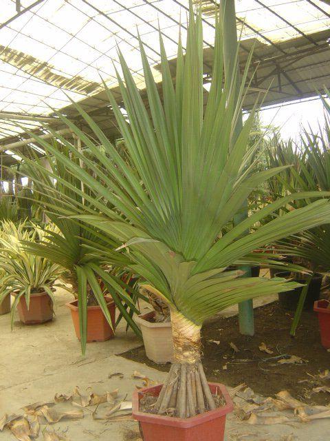 пальмовый вид