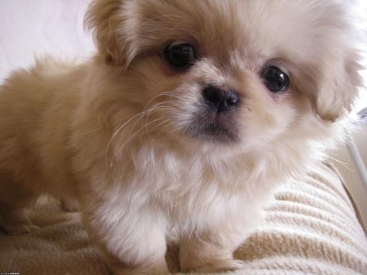 щенок пекинеса