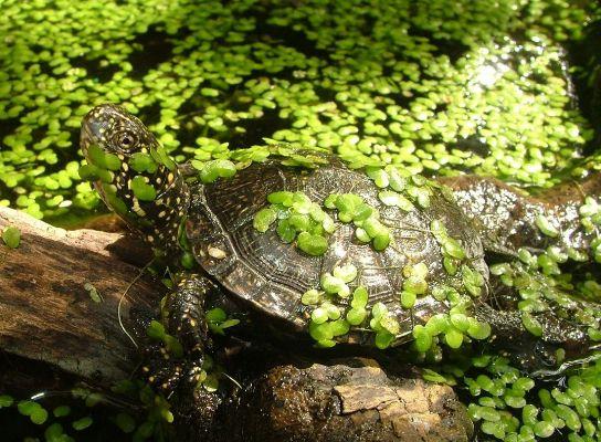 черепаха в реке