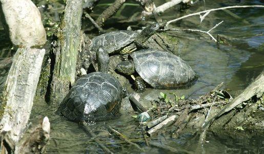 черепаха спряталась в трясине