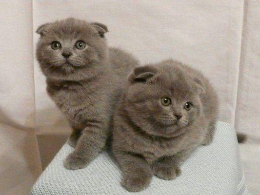котята шотландской кошки