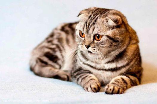 кошка шотландская