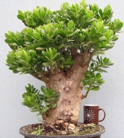 толстянка дерево