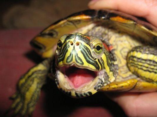 черепаха открыла пасть