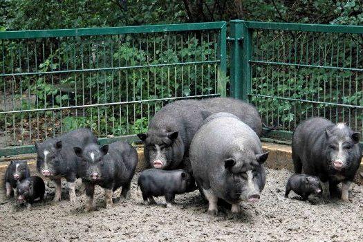 содержание свиней