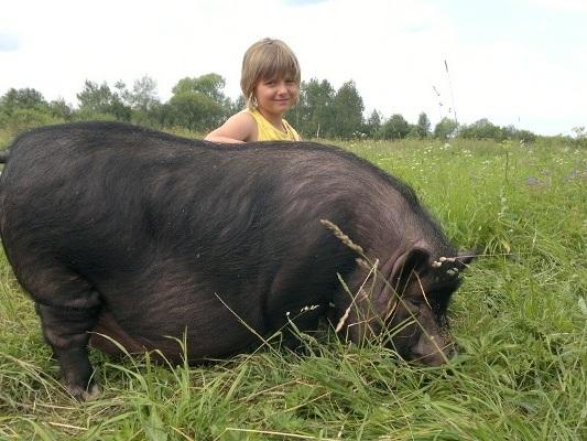 с домашней свиньей