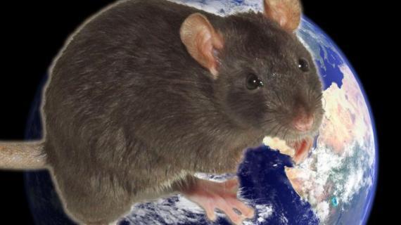 крыса на планете
